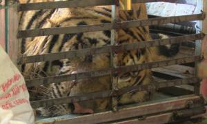 Giải cứu con hổ còn sống nặng 240kg