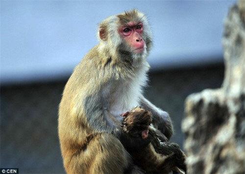 Khỉ mẹ tại vườn bách thú Phúc Châu (Trung Quốc) ôm xác con không rời. Ảnh: CEN