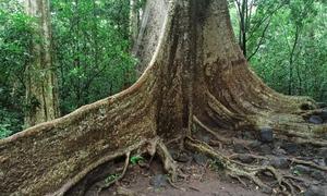 Cây tung hơn 400 tuổi ở vườn quốc gia Nam Cát Tiên