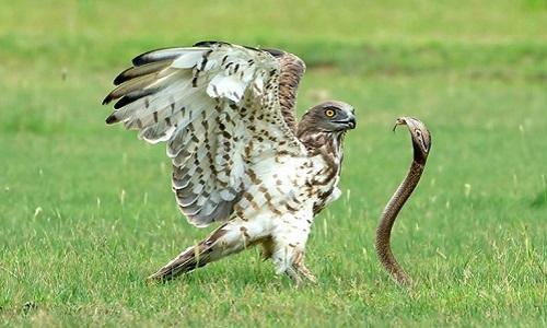 Rắn hổ mang đối đầu với đại bàng. Ảnh: Karthik Ramamurthy.