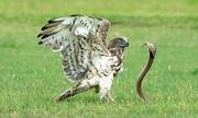 Đại bàng đoạt mạng rắn hổ mang