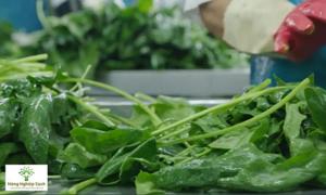 Kỹ thuật sản xuất rau chân vịt xuất khẩu Nhật Bản