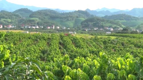 Tổng giá trị nông sản xuất khẩu nửa đầu năm 2019 của Sơn La là 78 triệu USD.