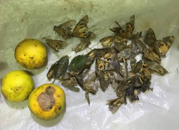 Hàng chục tấn cam sắp thu hoạch bị rụng quả