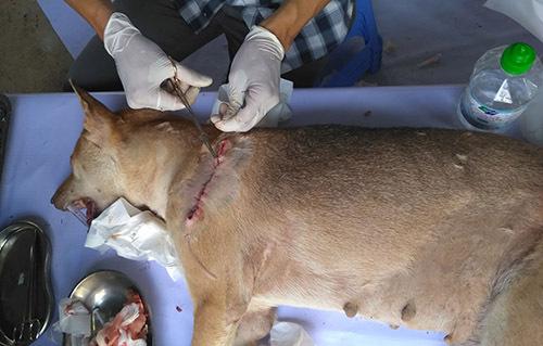Một cá thể chó được điều trị vết thương hở.