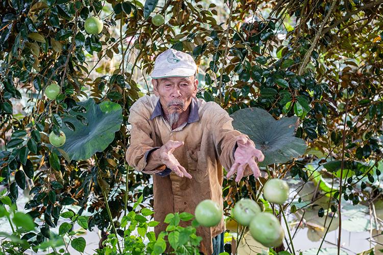 Ông Bảy trèo cây hái vú sửa vào đầu năm 2018. Ảnh: Thành Nguyễn.