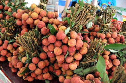 Vải thiều được trồng theo quy trình VietGAP đáp ứng yêu cầu xuất khẩu.