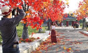 Hàng phong lá đỏ mô hình thu hút giới trẻ