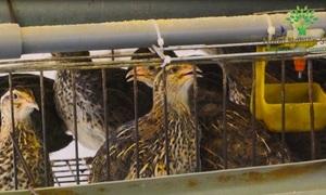 Kỹ thuật nuôi chim cút lấy trứng