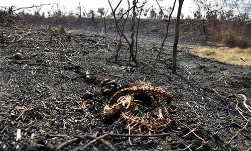 Xác rắn còn sót lại sau cháy rừng ở Bolivia. Ảnh: AFP.