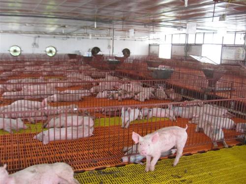 Chuồng trại chăn nuôi phải luôn vệ sinh sạch sẽ.