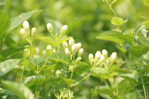 Hoa nhài màu trắng, thường được doanh nghiệp thu mua để ướp chè  (Ảnh: Dương Lan)