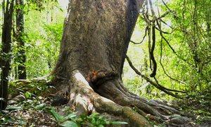 Cây gõ 'bác Đồng' hơn 800 tuổi trong rừng Nam Cát Tiên
