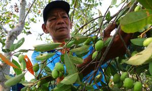 Trèo cây hái cà na kiếm tiền triệu mỗi ngày