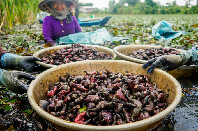 Nông dân miền Tây thu hoạch củ ấu