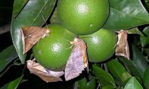 Hàng chục tấn cam bị rụng do côn trùng chích hút