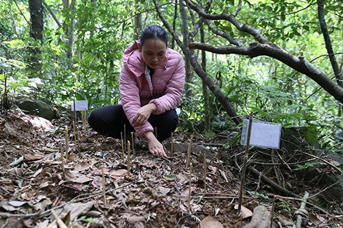 1.120 cây sâm Ngọc Linh một năm tuổi được trồng ở dưới tán rừng tự nhiên. Ảnh: Hoàng Táo