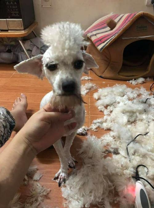 Chú chó sau khi đã được cắt tỉa lông.