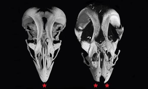 Nhóm nhà khoa họcbiến đổi phôi thai gà, tạo ra hộp sọ lai gà - khủng long. Ảnh: CNN.