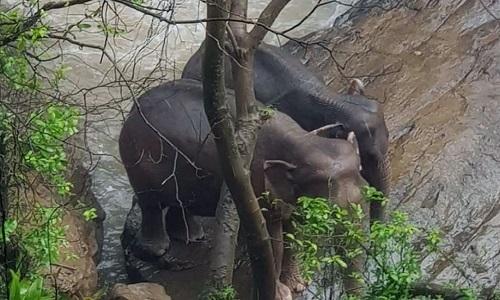 Hai con voi được đội cứu hộ giải cứu. Ảnh: AFP.