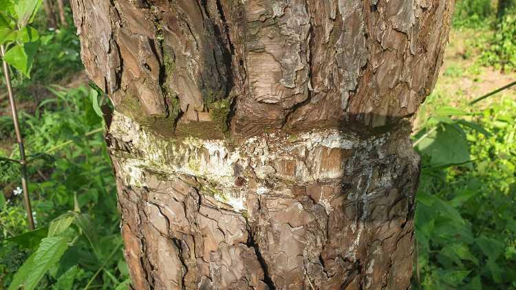 Thân cây thông bị kẻ xấu đẽo vỏ, đổ hóa chất. Ảnh: Ngọc Oanh.