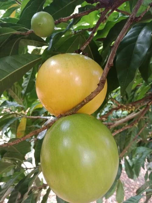 Tiêu đề ĐƯA GIỐNG VÚ SỮA HOÀNG KIM VỀ NƠI VÙNG BIÊN BÌNH PHƯỚC (Sống xanh - Con đường nông sản)
