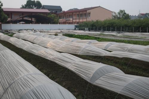 Toàn bộ rau tại Vân Nội được phủ kín ni lông để đảm bảo an toàn.