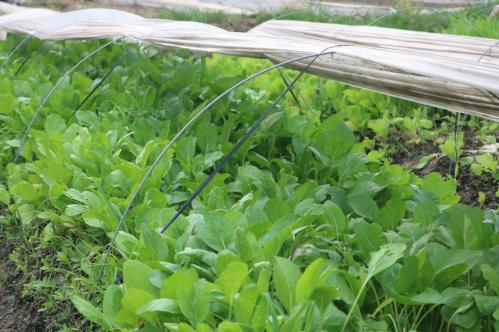 Rau an toàn được trồng tại Vân Nội là lựa chọn của nhiều người.