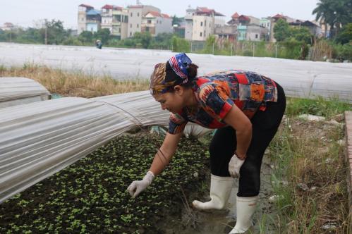 Bà Huyền chăm sóc vườn rau tại hợp tác xã Ba Chữ, Vân Nội.