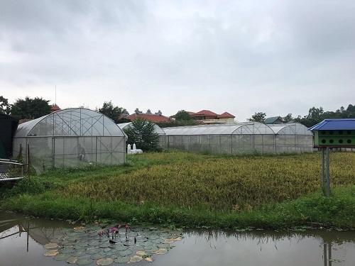 Đất ruộng trong khuôn viên chùa Nga Hoàng. Ảnh: Gia Chính