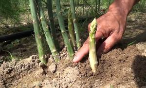 Vùng trồng măng tây của người Chăm