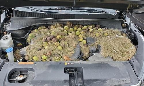 Kho thức ăn dự trữ của sóc trong khoang động cơ. Ảnh: Facebook.