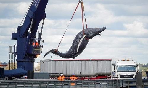Đội vận chuyển di dời xác cá voi. Ảnh: Mirror.
