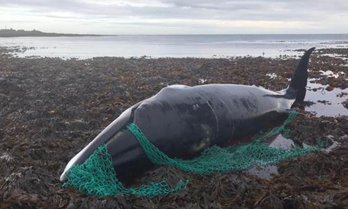 Cá voi mẹ kiệt sức vì vướng phải lưới đánh cá cũ. Ảnh: Independent.