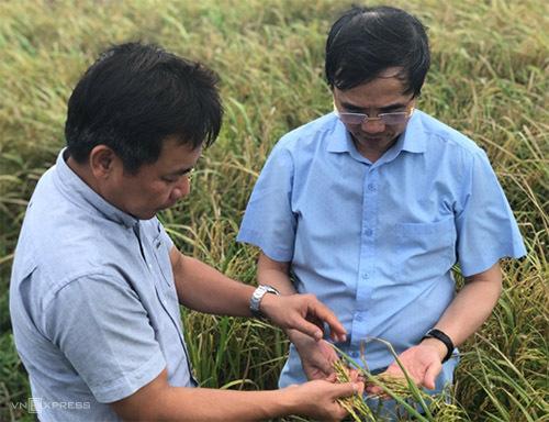 PGS Trần Đăng Xuân (trái) và Bác sĩ Đàm Duy Thiên (phải) kiểm tramô hình canh tác lúa hữu cơ tại tỉnh Kiên Giang. Ảnh: VQ
