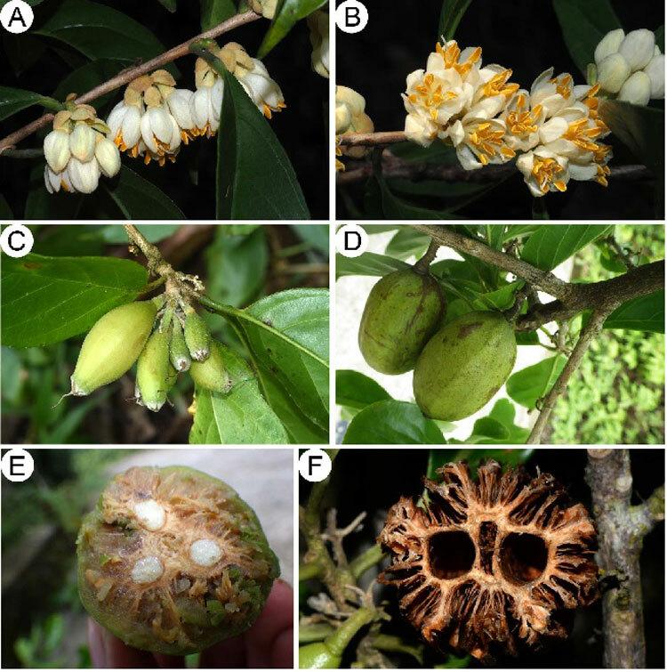 Hình ảnh hoa, quả và lá cây đua đũa Trường Sơn. Ảnh: Bảo tàng thiên nhiên Việt Nam.