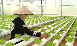 Đà Nẵng sản xuất rau củ quả công nghệ cao