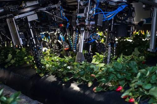 Robot thu hoạch dâu tây tại trang trại G & D, bang Florida, Mỹ.