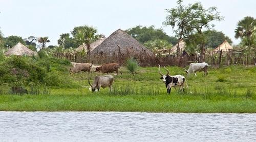 Gia súc của người dân ở một ngồi làng ven dòng Nile Trắng. Ảnh:Shutterstock