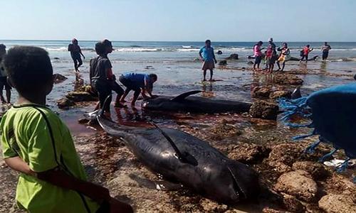 Dân làng giải cứu cá voi hoa tiêu mắc cạn ở bãi biển Indonesia. Ảnh: AFP.