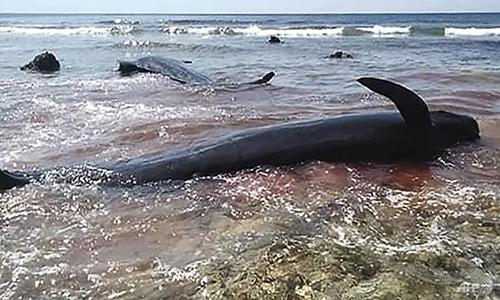 Nước biển chuyển màu đỏ do máu cá voi. Ảnh: AFP.