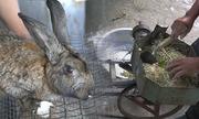 Nông dân chế máy làm cám viên để nuôi thỏ
