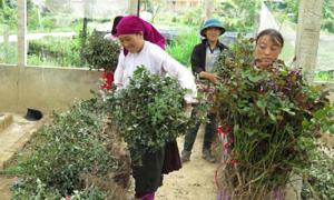 Hoa hồng trở thành giống cây trồng phổ biến ở Đồng Văn