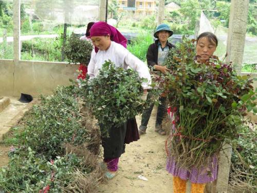 Bà con được hỗ trợ cây giống,hướng dẫn kỹ thuật trồng và chăm sóc hoa hồng.