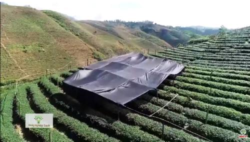 Kỹ thuật canh tác bóng râm dành cho lá trà sản xuất bột matcha.