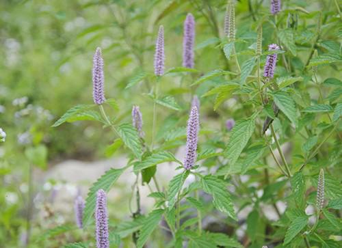 Tiêu đề Đồng Văn: Phát triển bền vững nhờ mật ong bạc hà