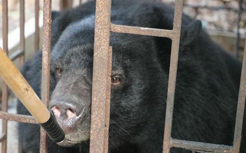 Gấu ngựa được giải cứu chiều 15/10. Ảnh: Animal Asia