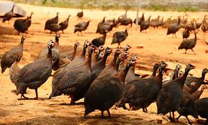Nông dân Sóc Sơn nuôi gà sao cải thiện kinh tế