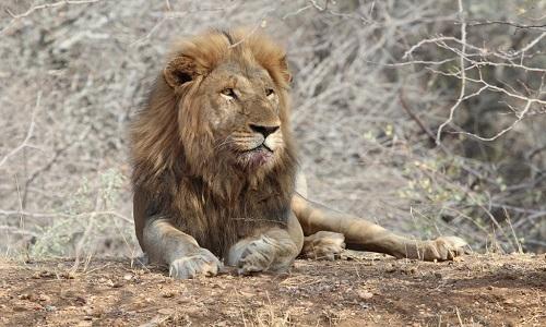 Vết máu tố cáo sư tử đực là thủ phạm giết chết su tử cái. Ảnh: EcoTraining.