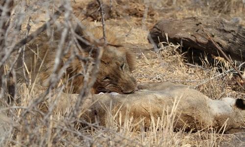 Con sư tử ăn xác đồng loại. Ảnh: EcoTraining.